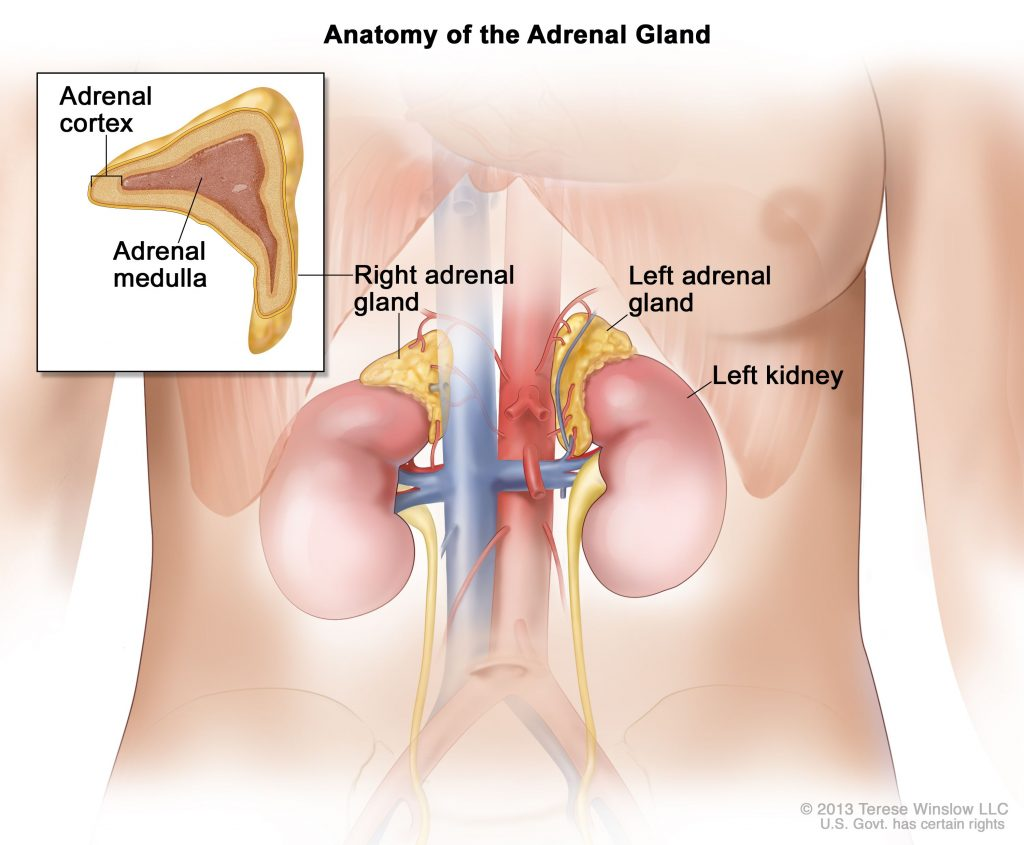 Pair of adrenal glands