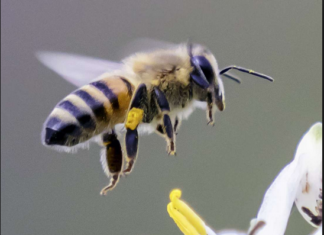 Bee sting remedy