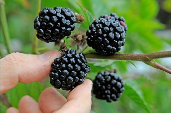 Nutritious purple foods Blackberries